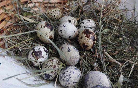 Такие полезные перепелиные яйца